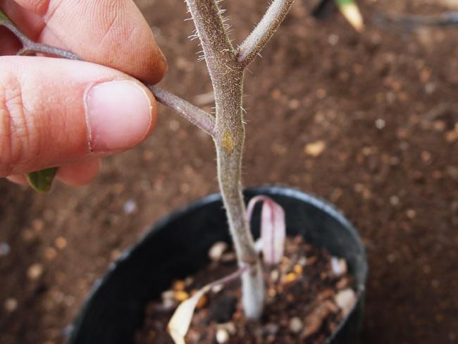 トマトの側枝を摘む