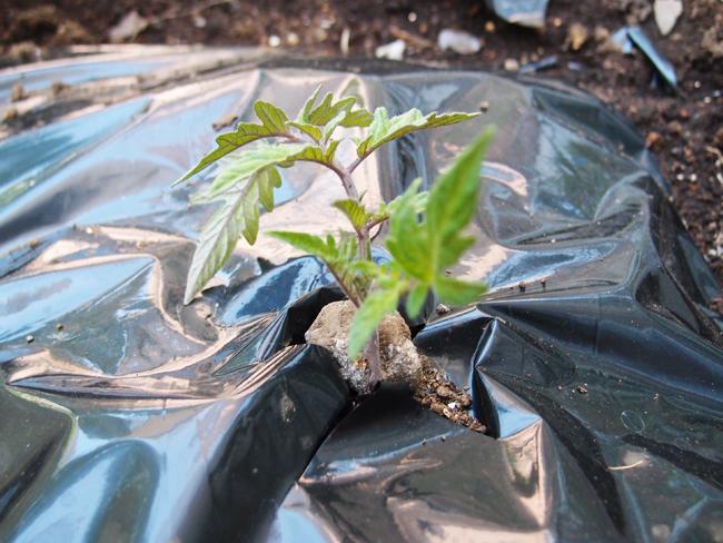 植え付け翌日の大玉トマト