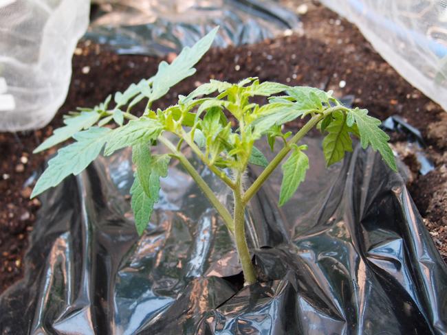 植え付け1週間後のトマト