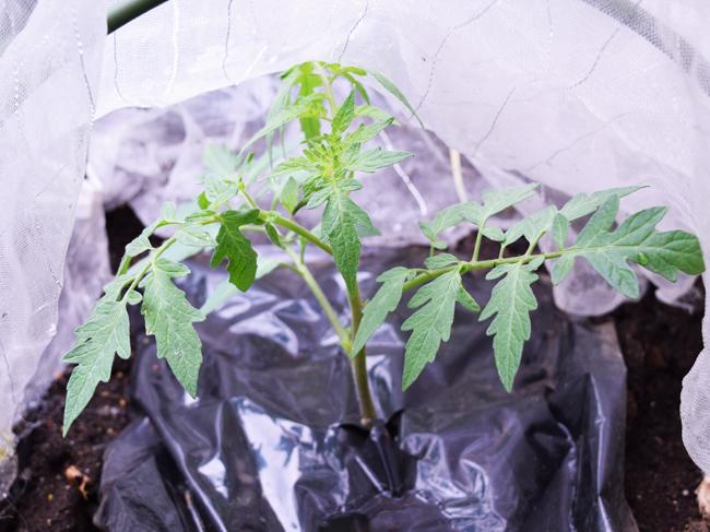 植え付け10日後のトマト