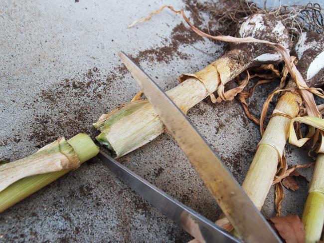 にんにくの茎を切る