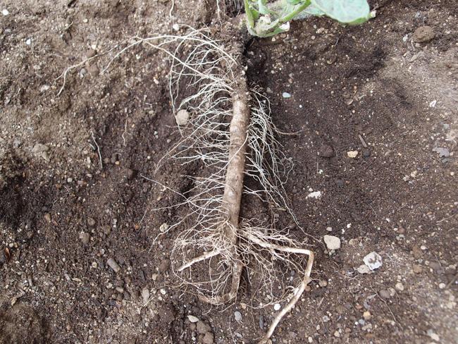 発根し成長したトマト