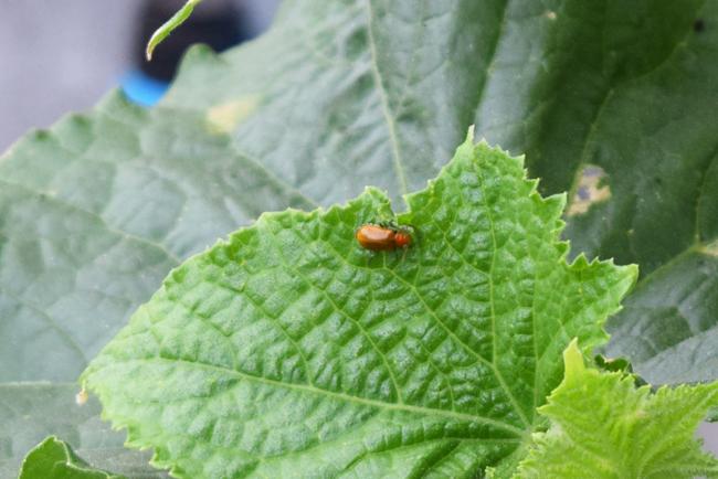 きゅうりを食害するウリハムシ