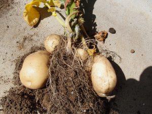 プランターで育てたじゃがいもの収穫結果