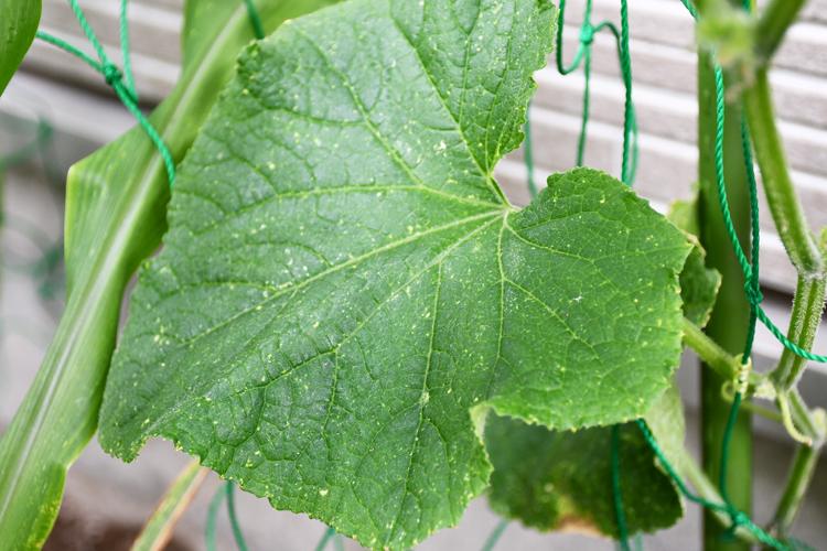 窒素過剰のキュウリの葉