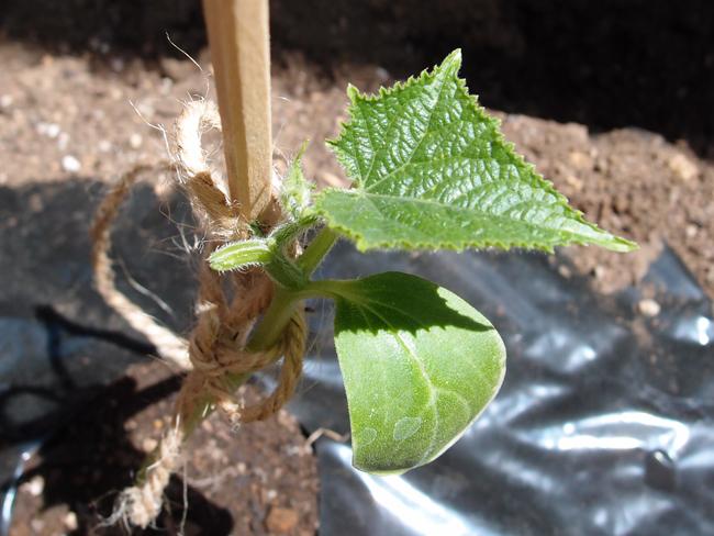 きゅうりの葉を摘む