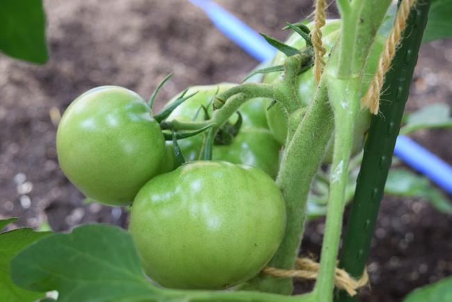6月22日の大玉トマトの様子