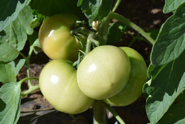 色が変わり始める大玉トマト
