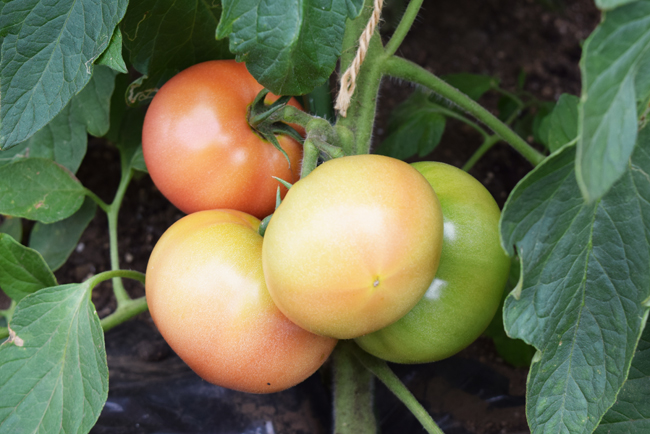 赤くなり始めた大玉トマト
