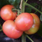 赤く色づく大玉トマト
