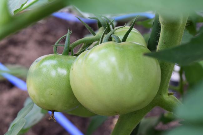 7月5日トマトの第二花房