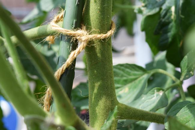 茎が太いトマト