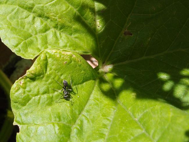メロンの葉と蟻