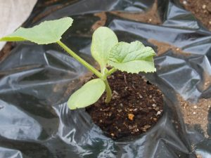 アールスメロン(マスクメロン)の定植