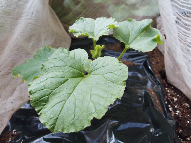 定植から15日後のメロン