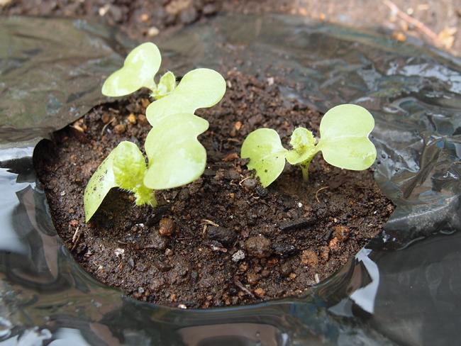 白菜の本葉