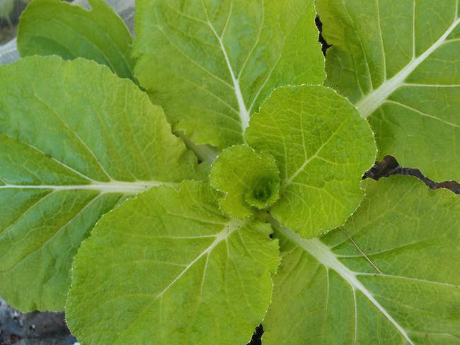 追肥後の白菜