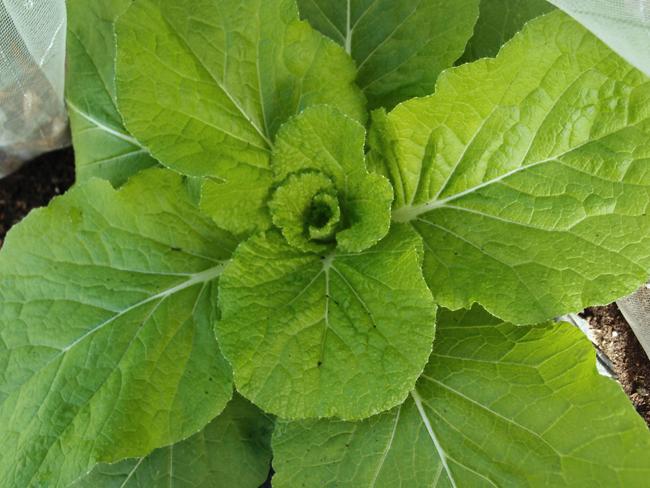 白菜の葉が巻く