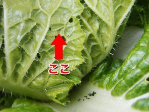 白菜を食べる害虫