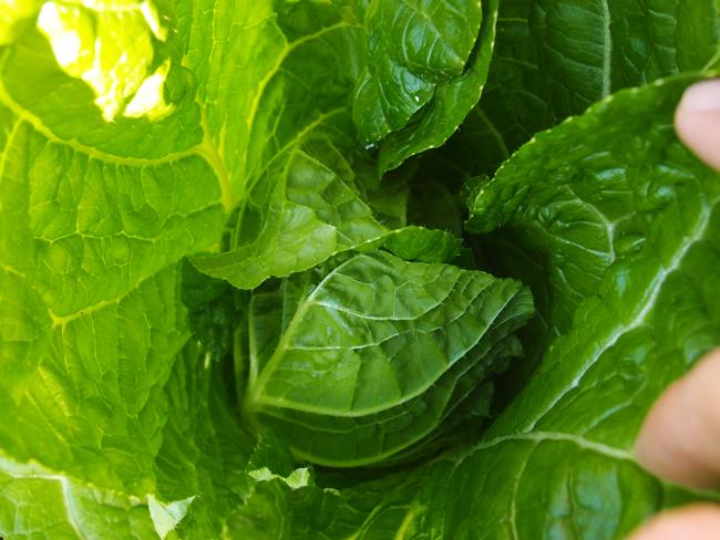 収穫期の白菜