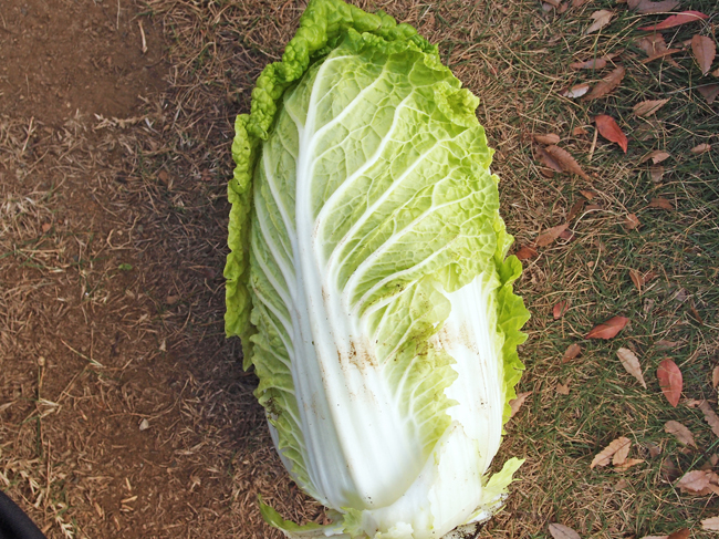 収穫した白菜