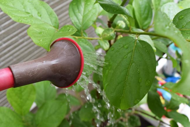 柿の木に肥料を葉面散布