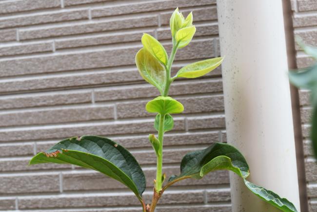 成長する柿木