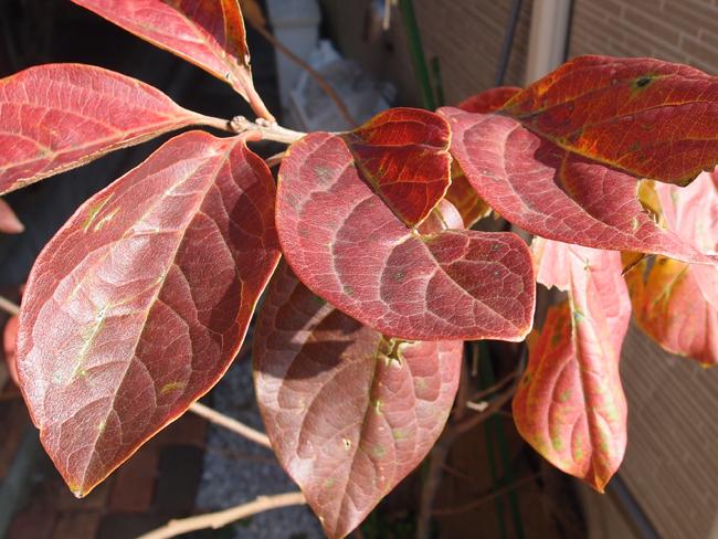 紅葉した柿の木