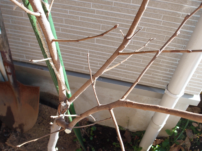 落葉した柿の木