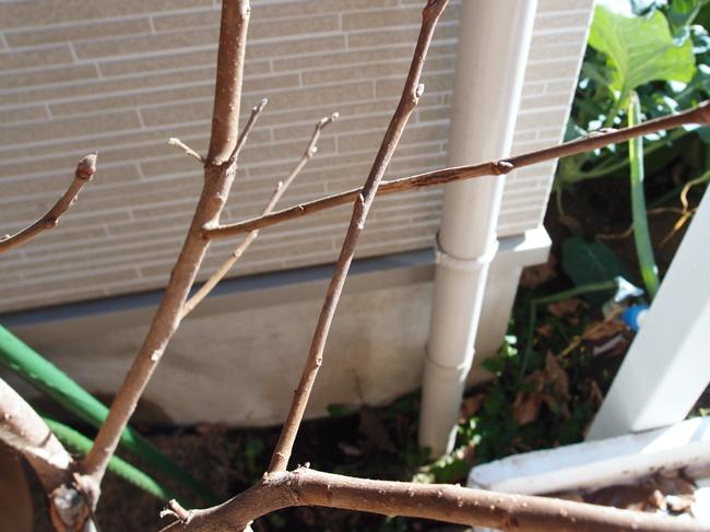 交差する柿の枝