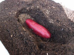 さつまいもを植える