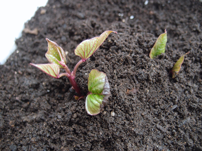 成長するさつまいもの葉