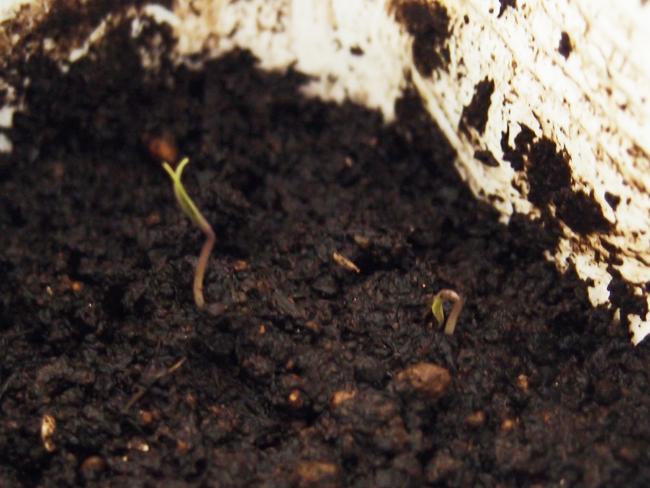 ミニトマトの発芽
