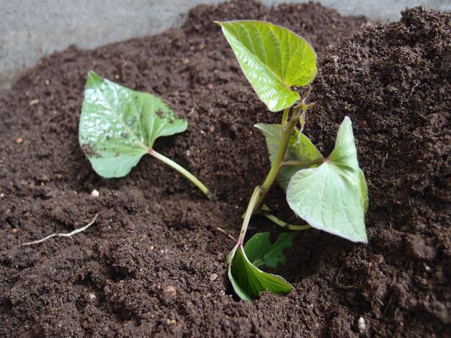 さつまいもの苗を植える
