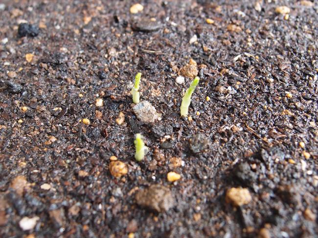 イエローポップの発芽