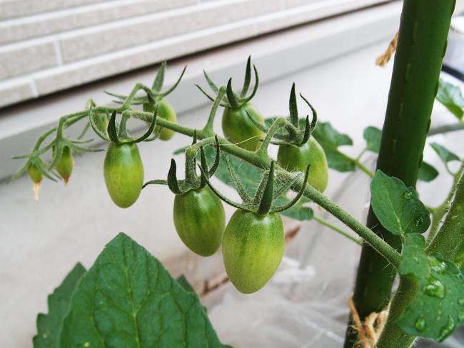 6月2日のミニトマトの様子