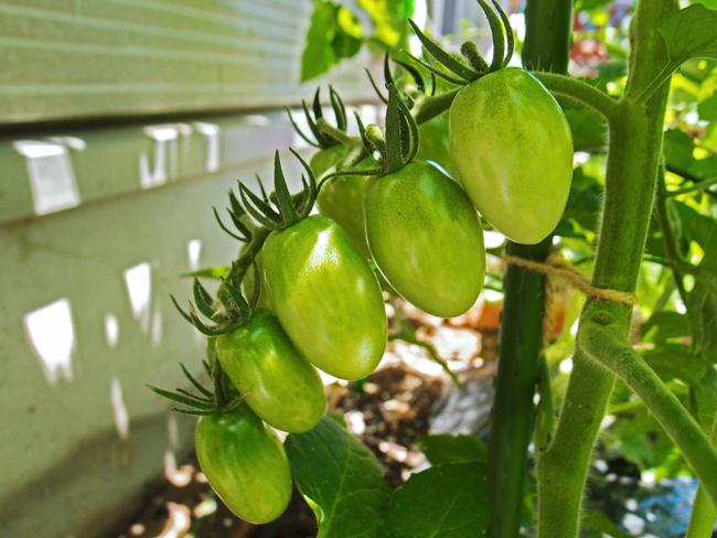 6月17日ミニトマトの成長