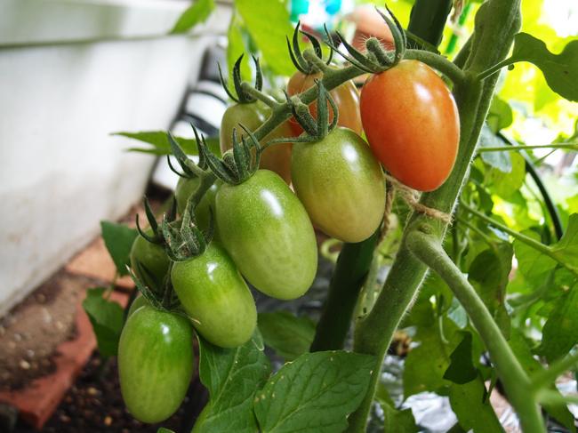 色づき始めるミニトマト