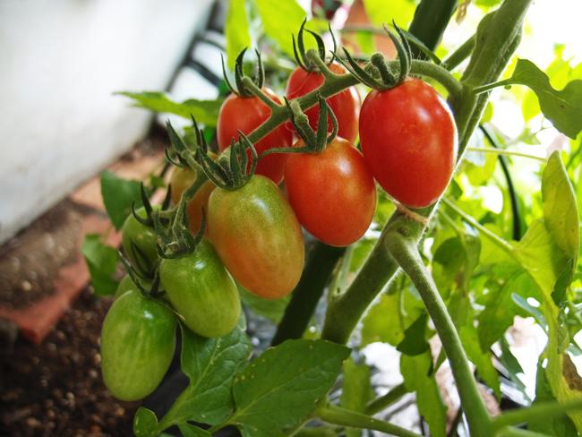 色が変化していくミニトマトの様子