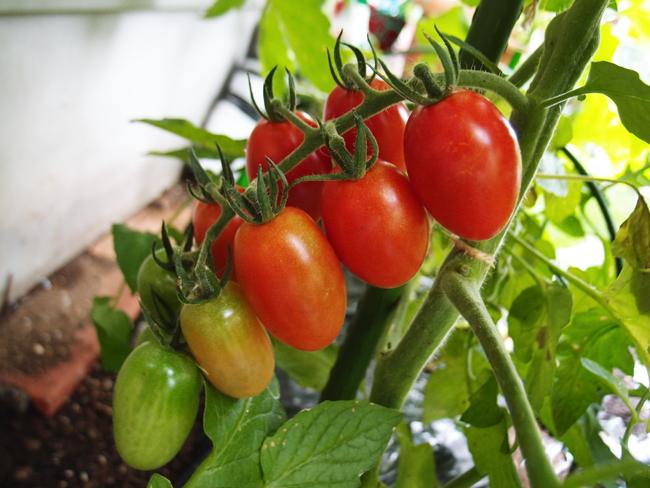 収穫期になったミニトマト