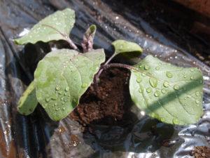 水ナスの定植