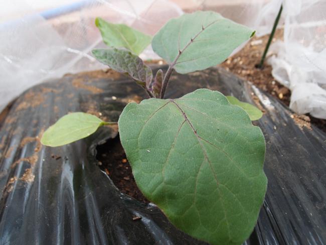定植から3日後の水ナス